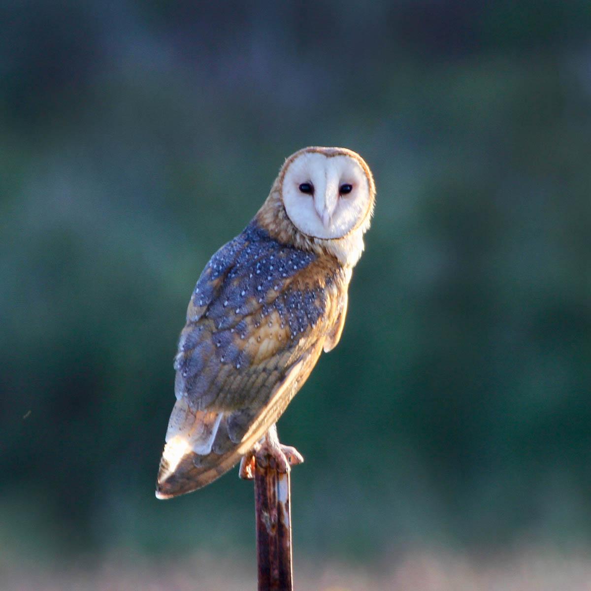 HawaiÊ»i Birding Trails Barn Owl