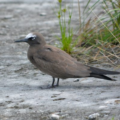 Brown Noddy_Alex Wang