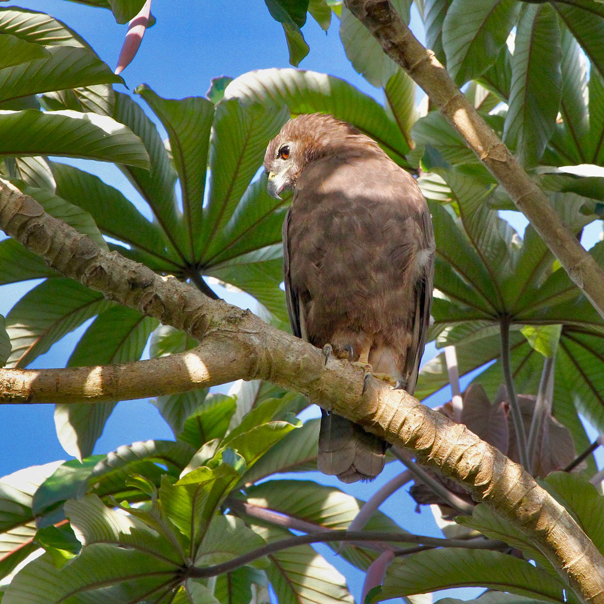 hawai i birding trails hawaiian hawk. Black Bedroom Furniture Sets. Home Design Ideas
