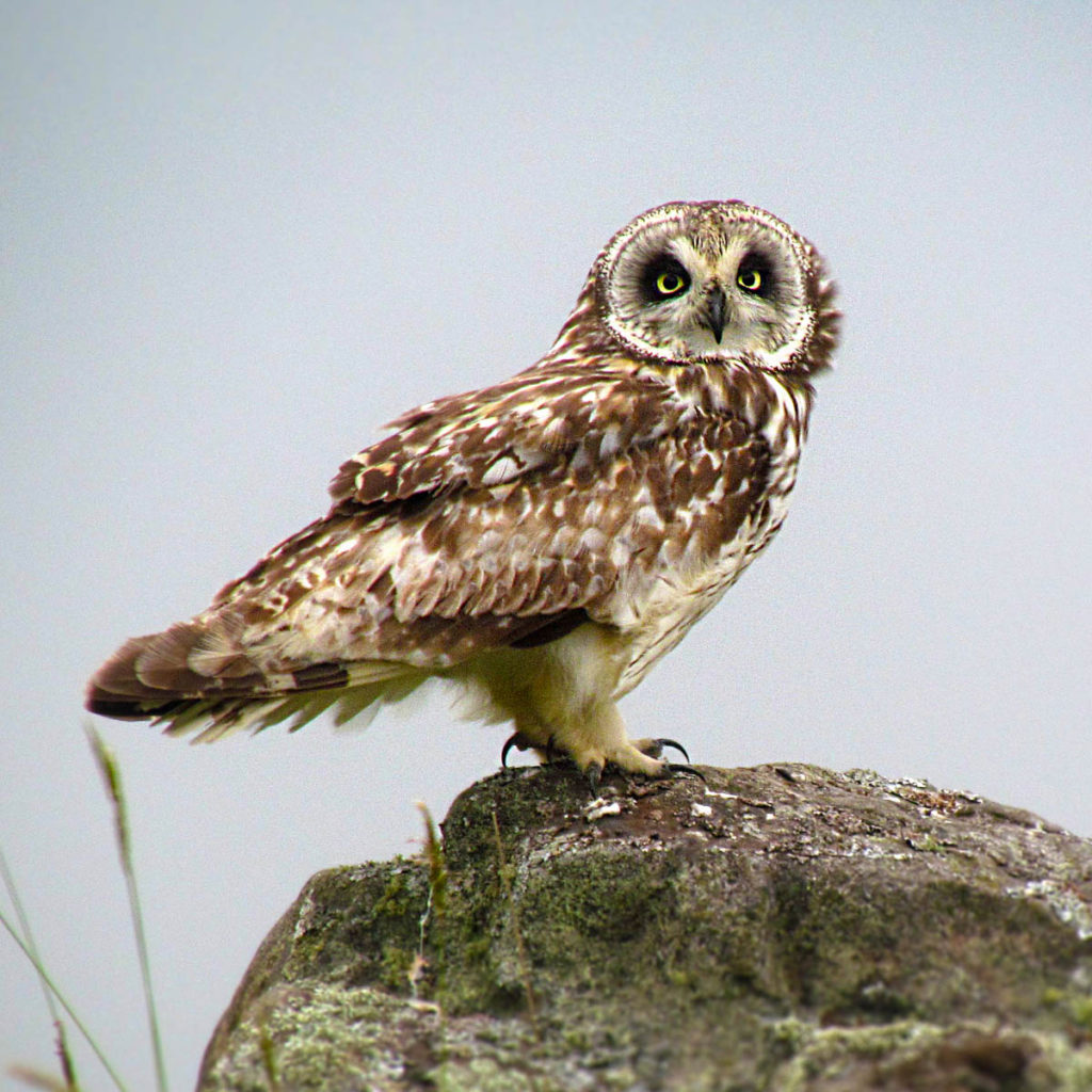 Hawaiʻi Birding Trails | Hawaiian short-eared owl