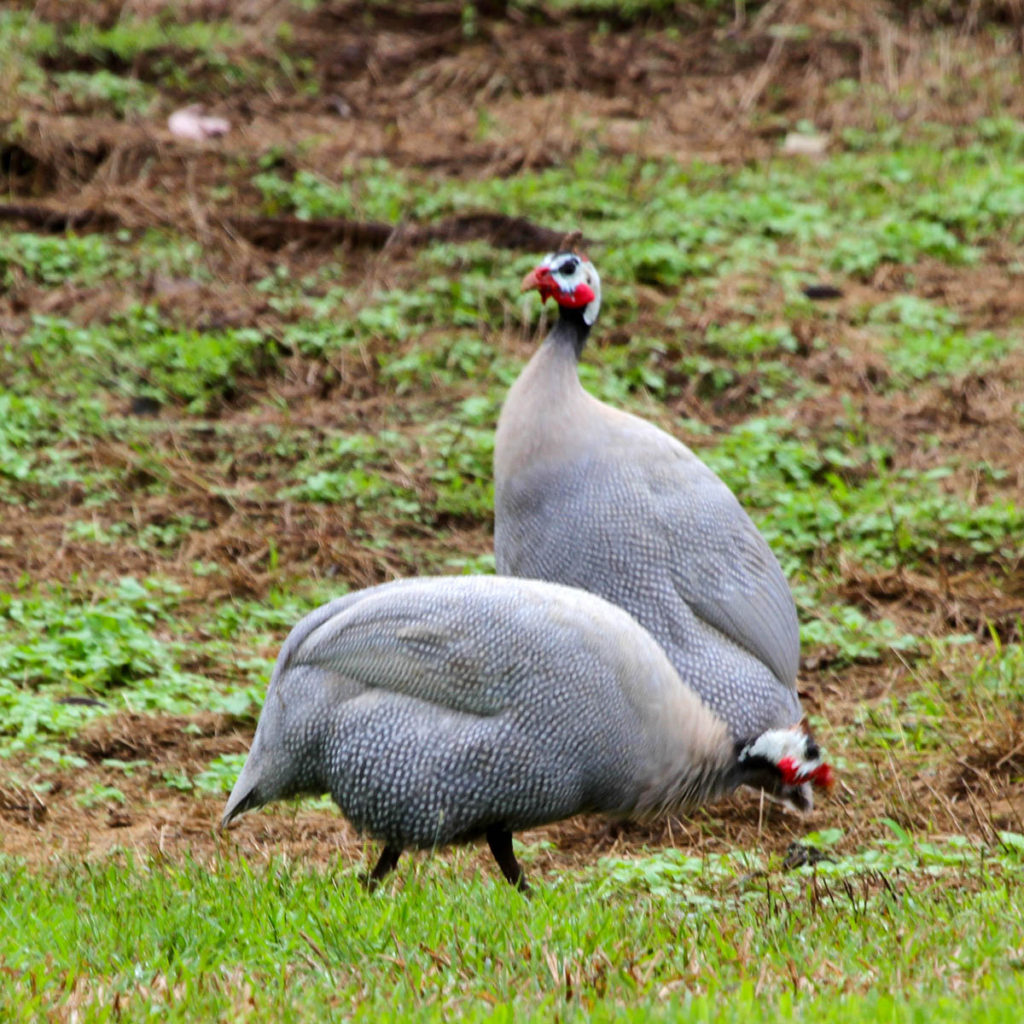 Hawaiʻi Birding Trails Helmeted Guineafowl Domestic Type