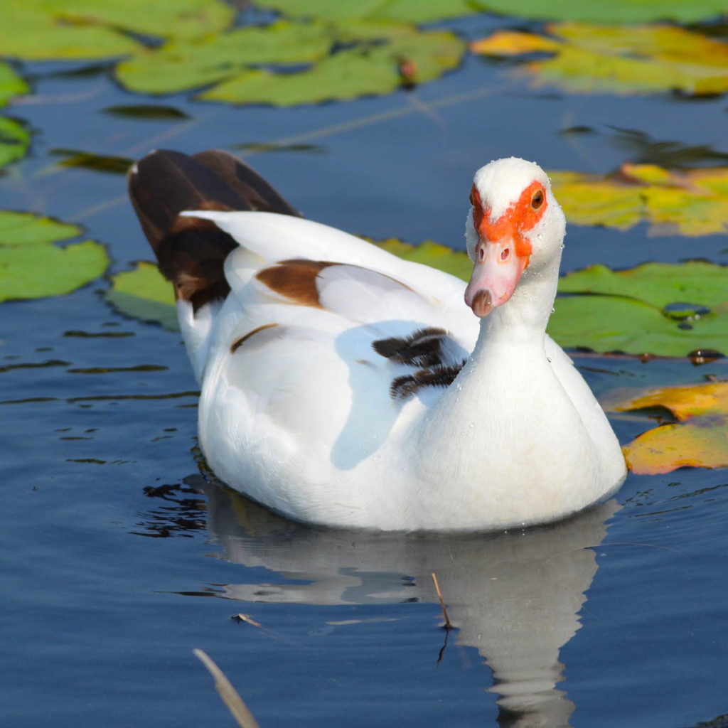 Hawaiʻi Birding Trails | muscovy duck