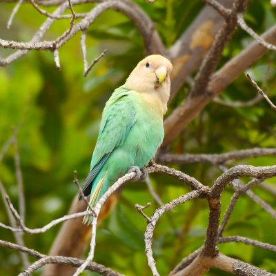 Rosy-faced Lovebird_Alex Wang