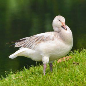 Snow Goose_Alex Wang