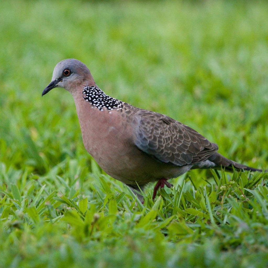 Hawaiʻi Birding Trails | spotted dove