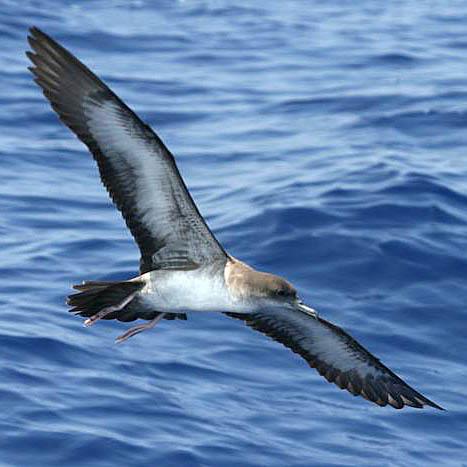 Wedge-tailed-shearwater_Brad-Hanson.jpg